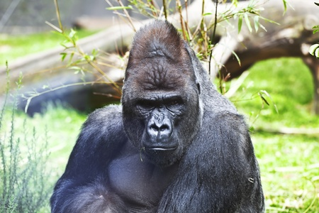 Great African gorillas, among the vegetation and downed trees.