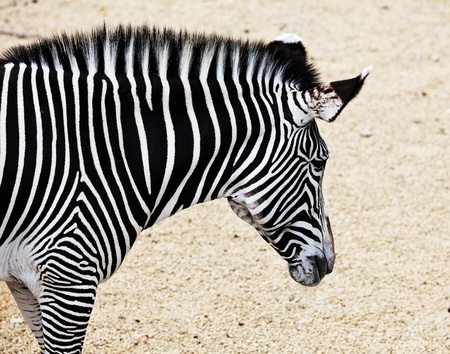 burchell: Portrait of a zebra on the yellowish sand. Stock Photo