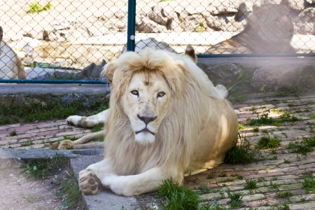 lions rock: Big, beautiful, a white lion resting in the shade