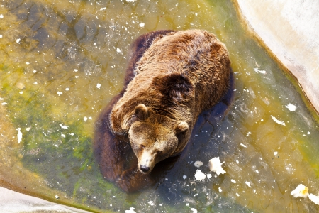 Large, dangerous, brown bear swim in the pool zoo  photo