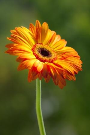 gebera: The beautiful, sunny gerbera flower on a green background  Stock Photo