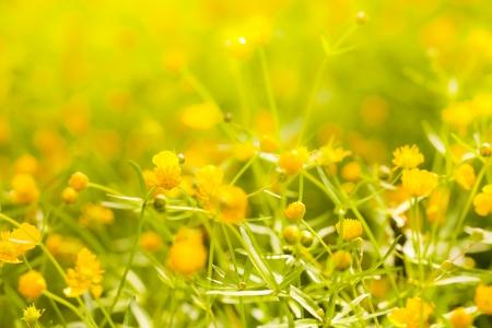 yellow wildflowers: Small yellow flowers in the spring sunshine. Stock Photo