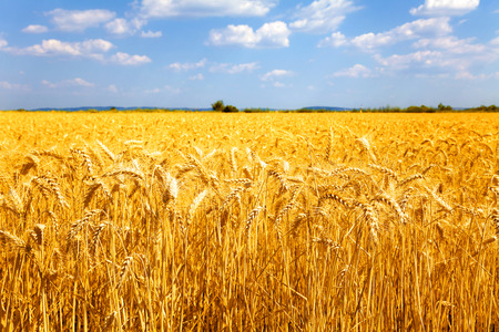 Fields of ripe yellow wheat ready for harvest. Banco de Imagens
