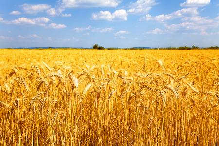 granja: Los campos de trigo amarillo maduro listo para la cosecha.