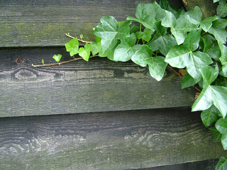 invading: Ivy growing along a wooden fence Stock Photo