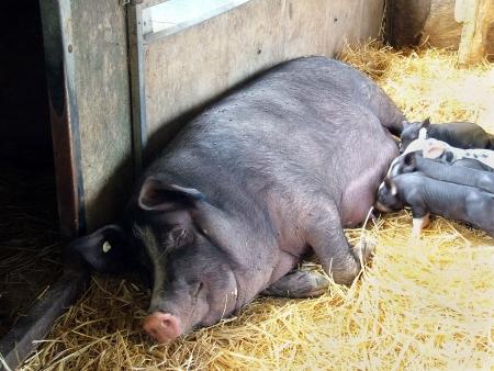 porker: Piglets suckling on a sleeping mother pig