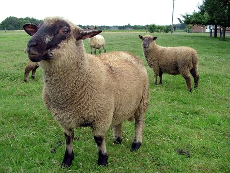 needing: A group of curious sheep needing to be shorn Stock Photo