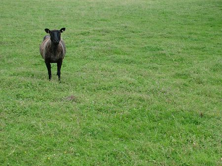 A single skinny sheep away from the herd Stok Fotoğraf