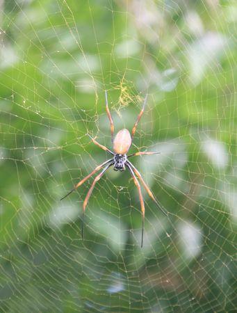 golden orb weaver: A golden orb-weaver spider in the Australian bush Stock Photo
