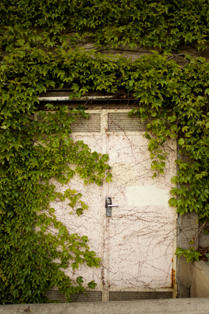 Old white doors covered with green photo