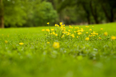 Yellow flowers on the green grass in the park photo