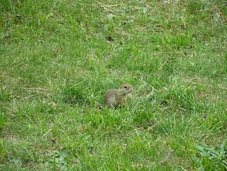 ground squirrel in Spis castle, Slovakia