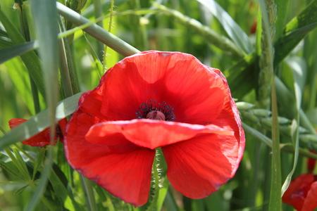 Papaver rhoeas (Common Poppy) Stock Photo