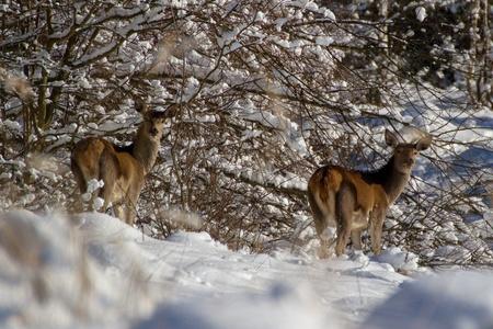buckskin in forest in winter Stock fotó