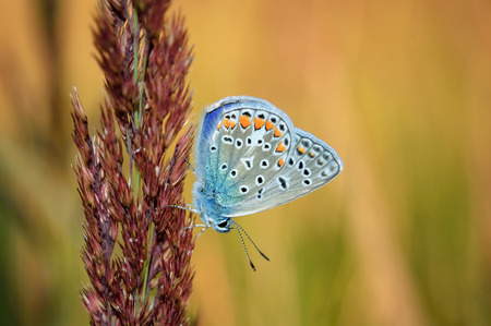 lycaenidae: Polyommatus bellargus, Adonis Blue, is a butterfly in the family Lycaenidae. Beautiful butterfly sitting on stem. Occurence of species in Europe, Russia and Iraq. Stock Photo
