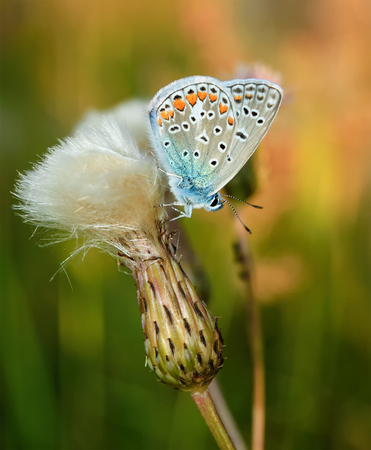 polyommatus: Polyommatus bellargus, Adonis Blue, is a butterfly in the family Lycaenidae. Beautiful butterfly sitting on flower. Occurence of species in Europe, Russia and Iraq.
