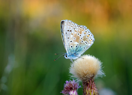 lycaenidae: Polyommatus bellargus, Adonis Blue, is a butterfly in the family Lycaenidae. Beautiful butterfly sitting on flower. Occurence of species in Europe, Russia and Iraq.