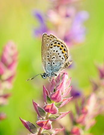common blue: Polyommatus Icarus, Common Blue, is a butterfly in the family Lycaenidae. Beautiful butterfly sitting on flower. Occurence of species in Europe, America and Asia.