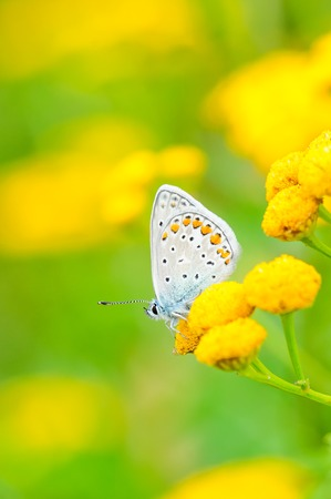 lycaenidae: Plebejus idas, Idas Blue or Northern Blue, is a butterfly in the family Lycaenidae. Beautiful butterfly sitting on flower. Occurence of species in Europe, America and Asia.