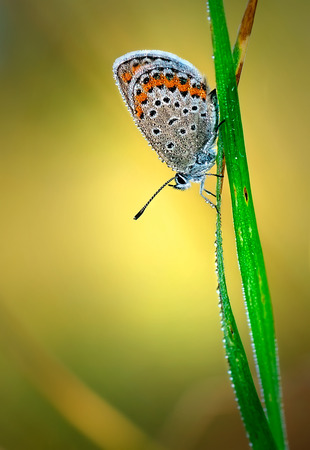 lycaenidae: Polyommatus Icarus, Common Blue, is a butterfly in the family Lycaenidae. Beautiful butterfly sitting on flower. Occurence of species in Europe, America and Asia.