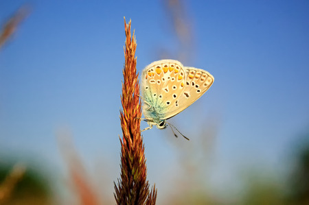 Polyommatus bellargus, Adonis Blue, is a butterfly in the family Lycaenidae. Beautiful butterfly sitting on stem. Occurence of species in Europe, Russia and Iraq. Stock Photo