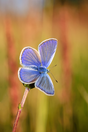 icarus: Polyommatus Icarus, Common Blue, is a butterfly in the family Lycaenidae. Beautiful butterfly sitting on flower. Occurence of species in Europe, America and Asia.