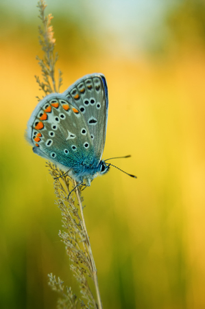 polyommatus icarus: Polyommatus Icarus, Common Blue, is a butterfly in the family Lycaenidae. Beautiful butterfly sitting on flower. Occurence of species in Europe, America and Asia.