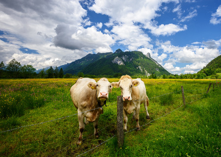 Idyllic Beautiful landscape in the Alps with cows grazing in fresh green meadows withblooming flowers, typical countryside and farm between mountains, Ettal and Oberammergau, Bavaria, Germany