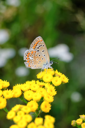 iraq: Polyommatus bellargus, Adonis Blue, is a butterfly in the family Lycaenidae. Beautiful butterfly sitting on stem. Occurence of species in Europe, Russia and Iraq. Stock Photo