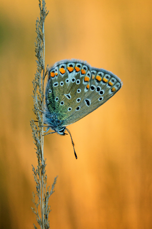 icarus: Polyommatus Icarus, Common Blue, is a butterfly in the family Lycaenidae. Beautiful butterfly sitting on blade of grass. Occurrence of species in Europe, America and Asia. Stock Photo