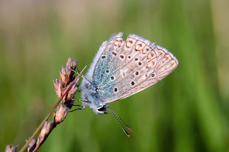 lycaenidae: Plebejus idas, Idas Blue or Northern Blue, is a butterfly in the family Lycaenidae. Beautiful butterfly sitting on stem. Occurrence of species in Europe, America and Asia. Stock Photo