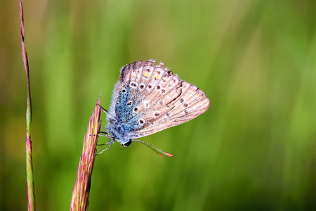 occurrence: Plebejus idas, Idas Blue or Northern Blue, is a butterfly in the family Lycaenidae. Beautiful butterfly sitting on stem. Occurrence of species in Europe, America and Asia. Stock Photo