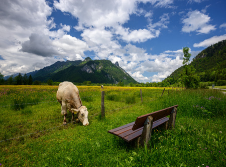 Idyllic Beautiful landscape in the Alps with cows grazing in fresh green meadows with blooming flowers, typical countryside and farm between mountains, Ettal and Oberammergau, Bavaria, Germany Stock Photo