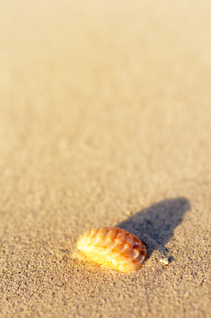 refelction: Typical summer season theme. Detail of seashell in sand. Sunny day at Montego bay beach, Jamaica