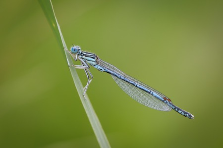 Beautiful cute dragonfly Platycnemis pennipes - White-legged Damselfly Stock Photo