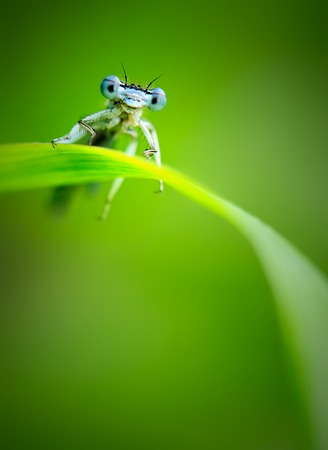 Beautiful cute dragonfly Platycnemis pennipes - White-legged Damselfly Stock Photo - 85892658