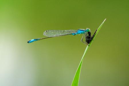 zygoptera: Beautiful cute dragonfly Ischnura elegans. Blue tailed Damselfly Stock Photo