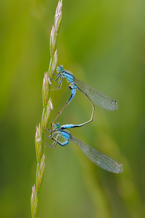 Beautiful cute dragonfly Ischnura elegans. Blue tailed Damselfly Stock Photo