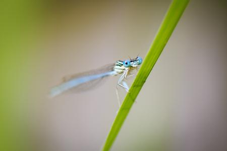 zygoptera: Beautiful cute dragonfly Platycnemis pennipes - White-legged Damselfly Stock Photo