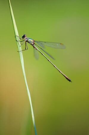 Lestes sponsa, is a damselfly. It is known commonly as the emerald damselfly or common spreadwing.