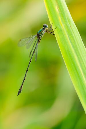 Lestes sponsa, is a damselfly. It is known commonly as the emerald damselfly or common spreadwing. Фото со стока - 150485782