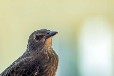 Juvenile Common starling (Sturnus vulgaris) profile closeup with Blurry background