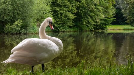Adult Mute swan (Cygnus olor) resting on the side of park pond. Trees in background
