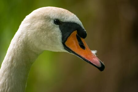 Adult Mute swan (Cygnus olor) profile portrait photo. Small feather on the beak. Blurred background.