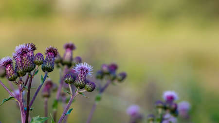 Multiple blooming welted thistle (carduus) flowers side to not yet developed buds. Blurred yellow grassland in the background.