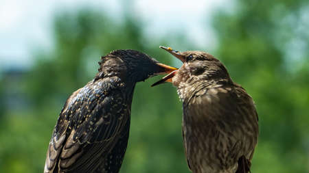 Grey juvenile common starling (Sturnus vulgaris) with his parent during the feeding time