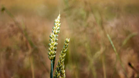 wheat grains on ears of corn. Blured blades of grass. Background calm and dreamy texture.