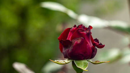 One red rose with imperfection on its petals in the garden Archivio Fotografico
