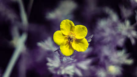 Single buttercups (Ranunculus) blooming. Infrared light gives purple background haze.