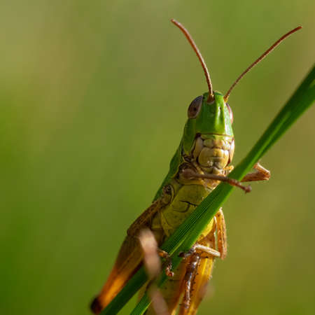 green grasshopper under view with blurred green background.